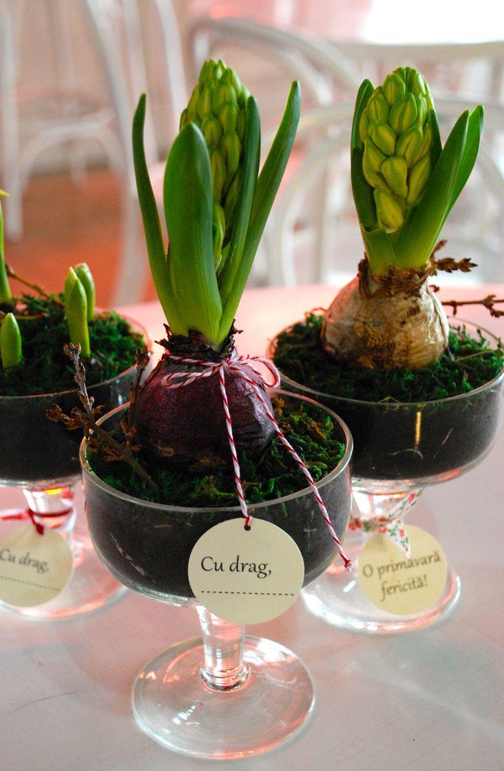 Plant favors, spring bulbs, pot wrapping, wedding favors, plants wedding, spring flower, beautiful pot, marriage, glass pot Plante marturii nunta, bulbi primavara, seminte martturii, bulbi marturii