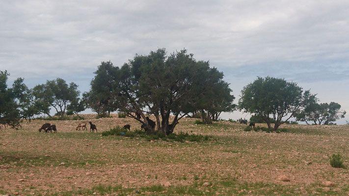 Marokko Arganbaum Ziegen  Morocco Argan tree goats