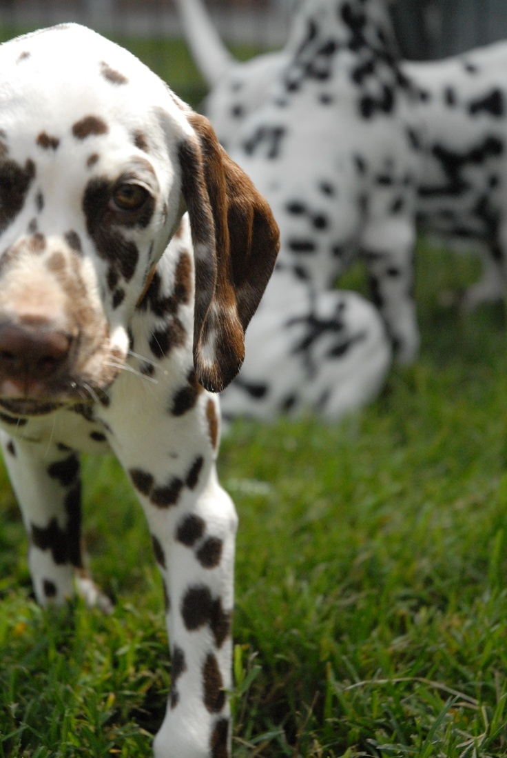 Dalmatian puppies - For Puppy Fridays from Underdog Rescue of Arizona