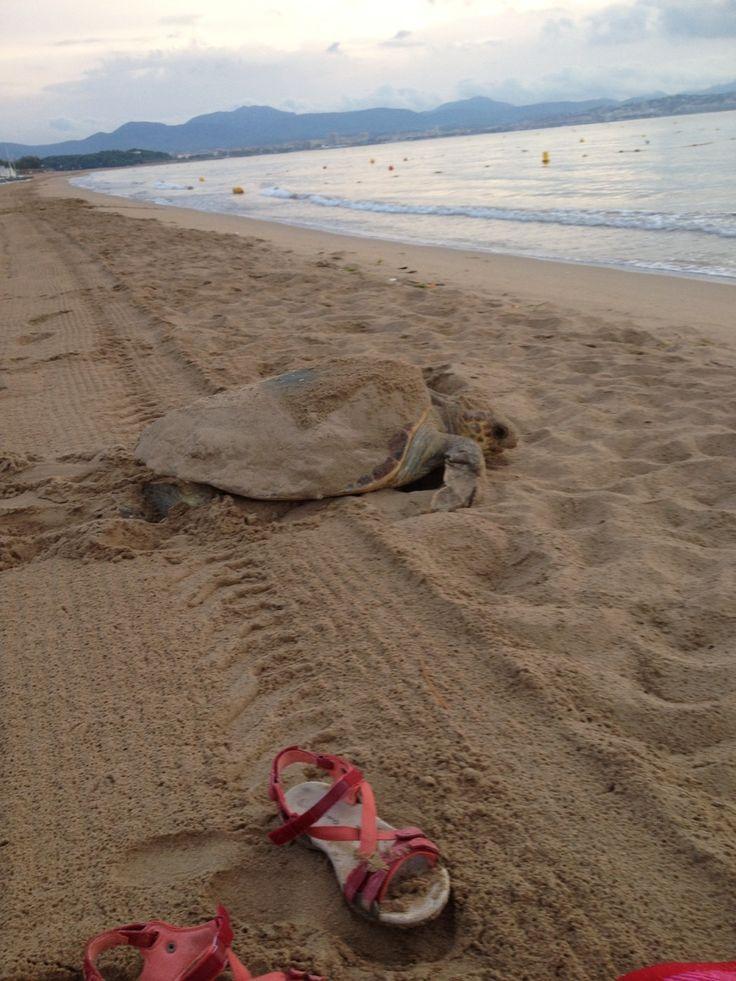 Une tortue caouanne, ou caretta caretta, de son petit nom scientifique, l'une des trois espèces de tortues marines présentes en Méditerranée, est venue déposer ses oeufs sur le sable de Saint-Aygulf, tout récemment, à l'aube.Désormais, une zone de protection a été mise en place pour éviter toute int