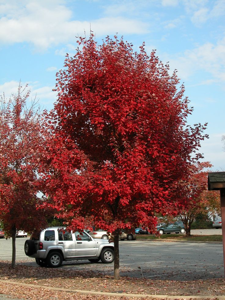 Brandywine Maple Tree Has Good Red Fall Color And Is