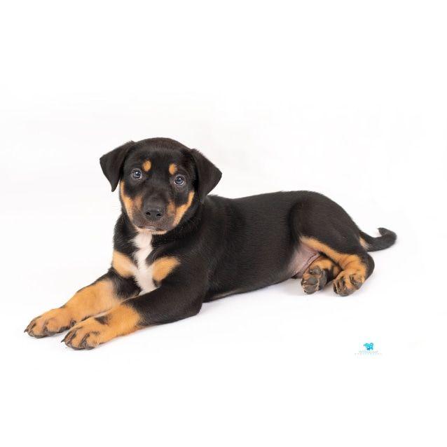 Tank Handsome Ridgeback X Mastiff Puppy Large Male Mastiff X