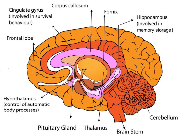 Parts of the Human Brain | Brain anatomy, Kid and Biology