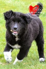 Mo-Mo is a 4 month old, male, Chow Chow/Lab/Dalmatian mix available for adoption at the Dubuque Regional Humane Society.