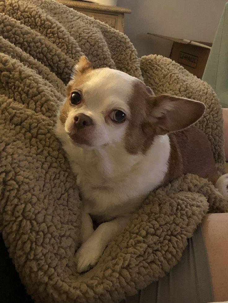My photogenic baby lookin like a little model chihuahua