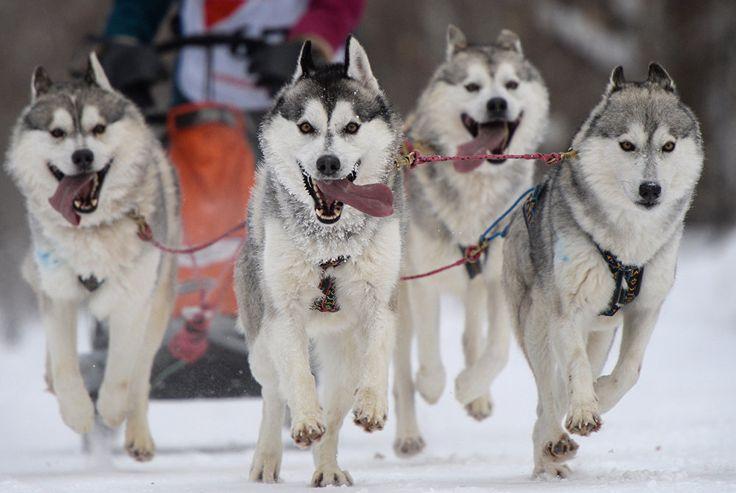 Los principales protagonistas de las competencias en trineos de perros 'Carrera Navideña 2017'. Novosibirsk, Rusia, 7 de enero de 2017.