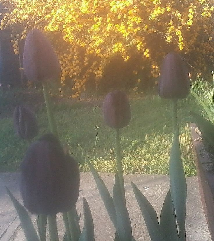 A Fekete tulipán