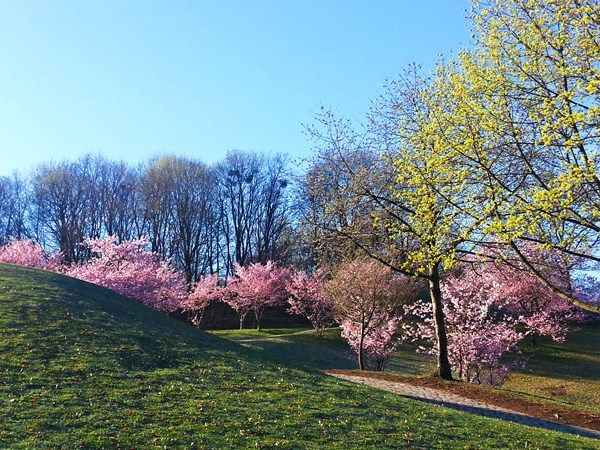 Blühende Bäume im Olympiapark
