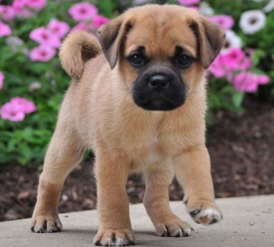 Pug And Jack Russell Terrier Jug Dogs And Puppies Pinterest