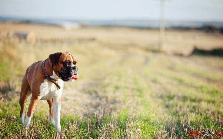 Fotos de um cachorro puro-sangue, apelidado de boxer
