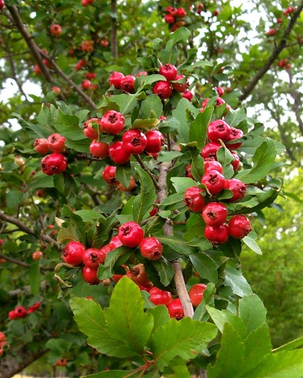 Mayhaw tree. Fruit lowers blood pressure and is wonderful for those of us with CHF. Makes great jam, tea, and syrup.