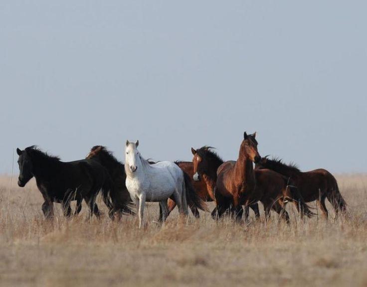 The Wild Horses of the Danube Delta or Letea horses, Romania. More in https://www.rewildingeurope.com/wp-content/uploads/2014/09/Rewilding-horses-in-Europe-2014.pdf