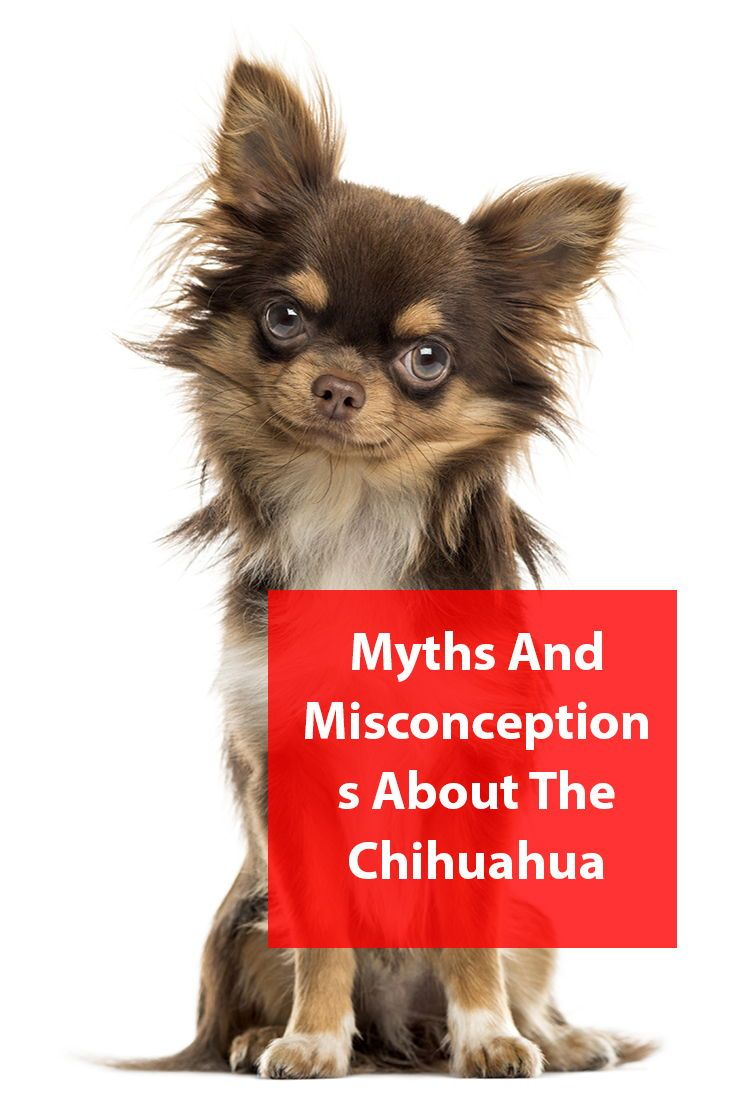 Chihuahua Breed Information Chihuahua Breeds Chihuahua