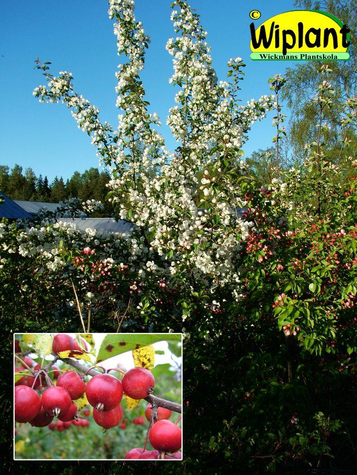 Malus 'Oppio', prydnadsäppel. Storvuxet träd. Vita blommor, mörkgrönt bladverk. Höjd 5-10 m.