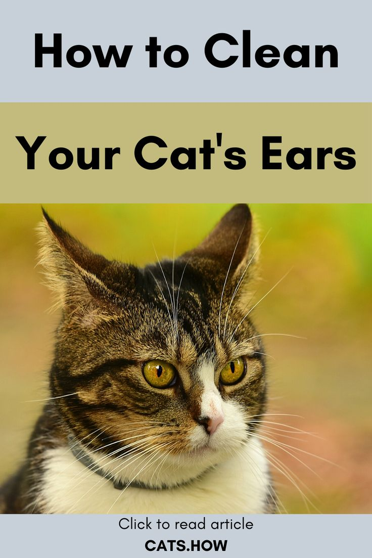 How to clean your cats ears cats how cat ears clean