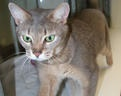 Abyssinian    The Abyssinian is very elegant, regal-looking cats with strong, lithe bodies and long, slender legs.   For all of you who like to knit... here is the ultimate pattern: knit a soft toy dog and also benefit the charity... it would be so great to know you've made a difference for a small donation... check it out now!   http://www.battersea.org.uk/get_involved/shop/staffie_knitting_pattern/knitted_staffie.html