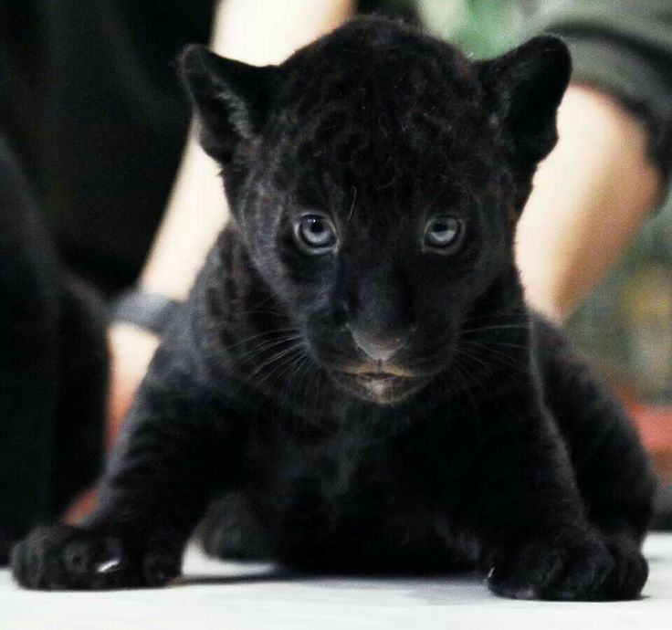 Baby black panther | panther,lepord,tigers,lions | Pinterest - photo#23