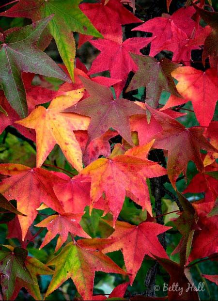 Sweet gum leaves (Liquidambar styraciflua). Every fall color on one tree.