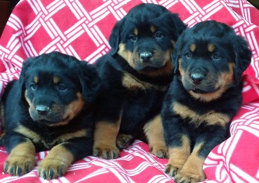Litter of 6 Rottweiler puppies for sale in CONOWINGO, MD. ADN-22481 on PuppyFinder.com Gender: Male(s) and Female(s). Age: 8 Weeks Old