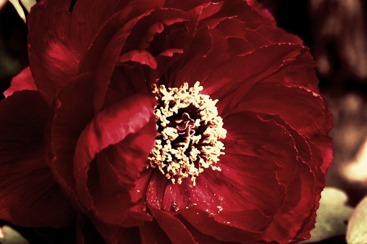 Red Peonia