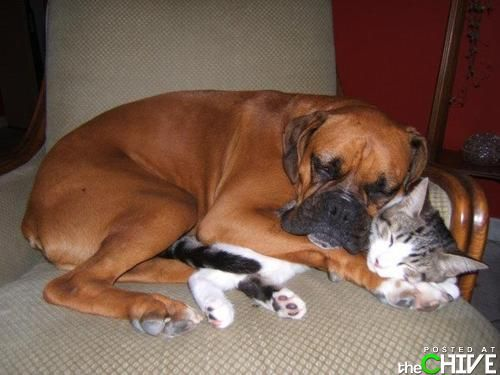 Boxers are awesome.: Best Friends, Boxers Dogs, Funny Pictures, Snuggle, Bestfriends, Pet, Dogs Cat, Cuddling Buddy, Animal