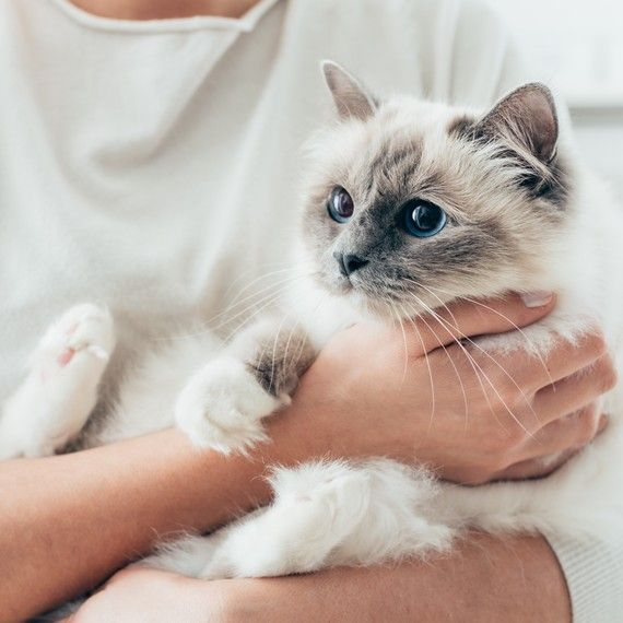 Scruffing A Cat What Is It And Why Do Experts Say You Shouldn T Do It Birman Kittens For Sale Birman Kittens Birman Cat