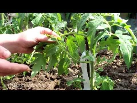 Пасынкование томатов. Обсуждение на LiveInternet - Российский Сервис Онлайн-Дневников