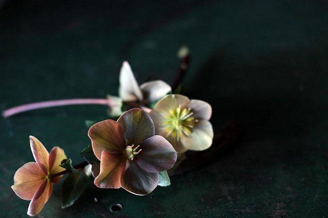 helleboresPhotos, Hellebore2, Beautiful Hellebore, Wedding Ideas, Colors Rose, Colors Palettes, Hellebores So, Hellebore Y, Flower Farms