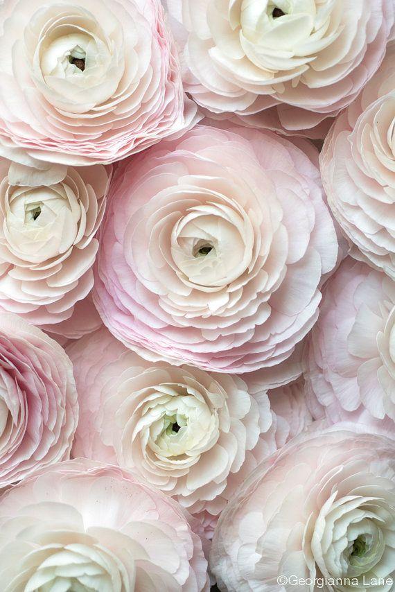 Paris Flower Photography – Cloni Ranunculus in a Paris Apartment, Floral Travel Fine Art Photograph, Pink French Home Decor, Large Wall Art