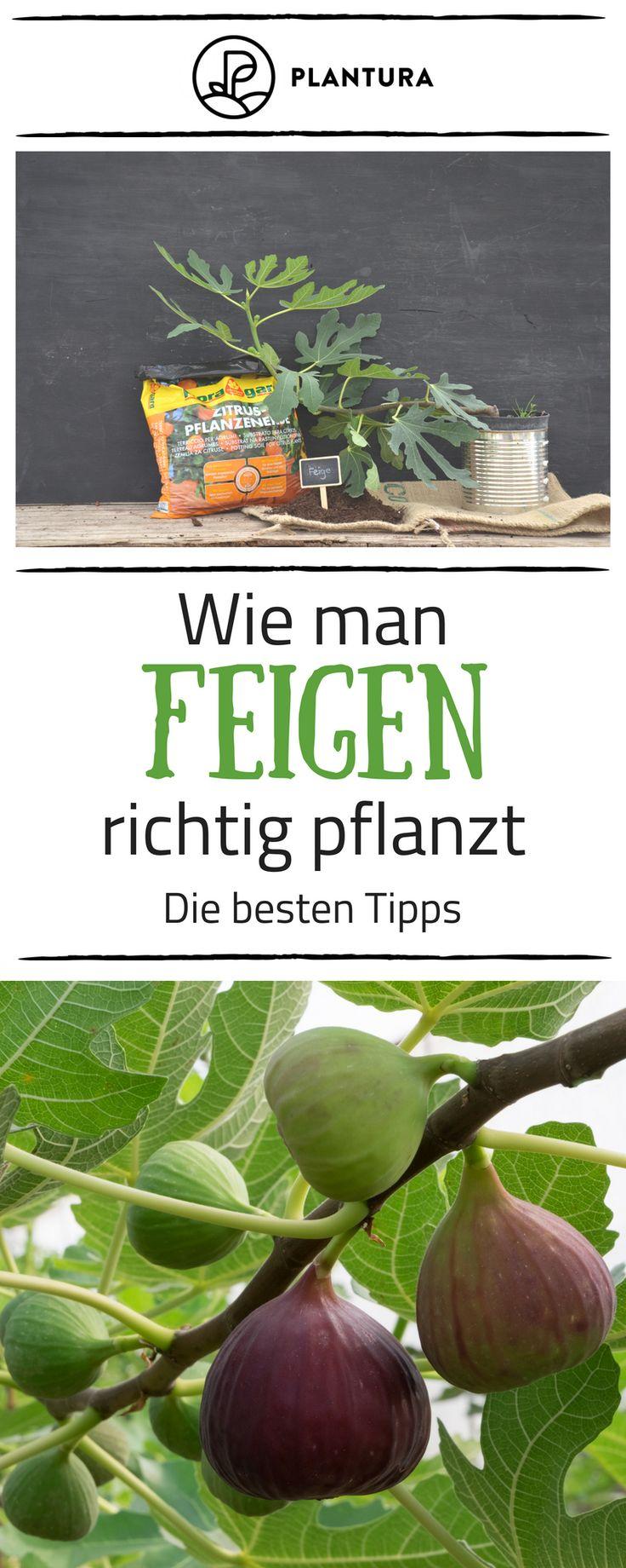 Feigenbaum: Experten-Tipps vom Kaufen bis zum Pflegen – Plantura | Garten Ideen & Tipps | Gemüse, Obst, Kräuter