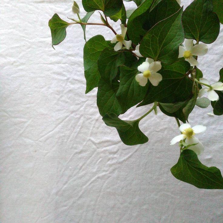どくだみの花  曇りぞらや しっとり雨の日が よく似合う と思う��  #花のあるの暮らし #暮らし #花 #flowerslovers #どくだみ http://gelinshop.com/ipost/1522762263839196933/?code=BUh8DYFgUcF