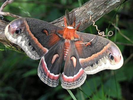 La saturnie cécropia est un papillon de nuit imposant, avec de grandes ailes noires et rouge orangé.