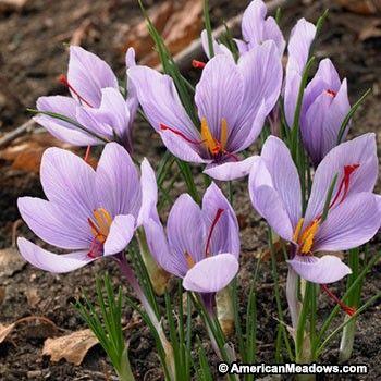 Purple Saffron Crocus Bulbs, Crocus sativus, Saffron Crocus