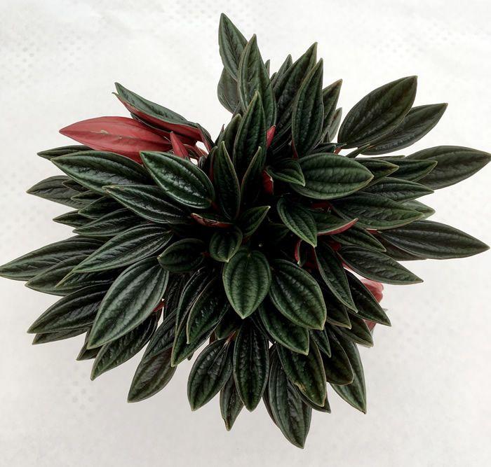 Pungilandia Peperomia Caperata Rosso Plantas Con Flores