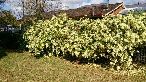 My wonga wonga vine this spring. It is an Aussie native, pandorea panorana.
