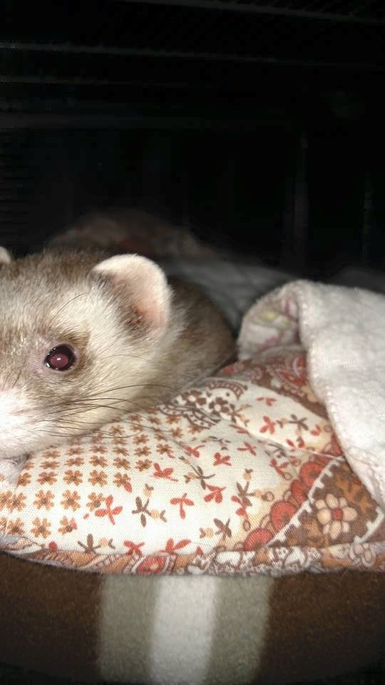 The Best Rescue Ferret Ideas On Pinterest Baby Ferrets - Rescued kitten adopted by ferrets now thinks shes a ferret too
