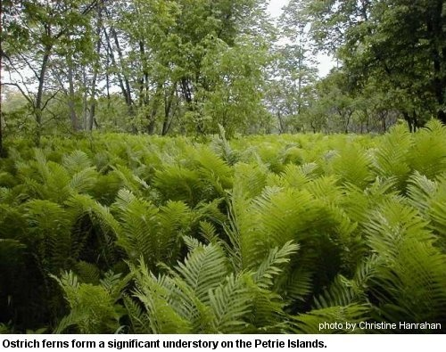 17 best images about missouri native plants and trees on pinterest