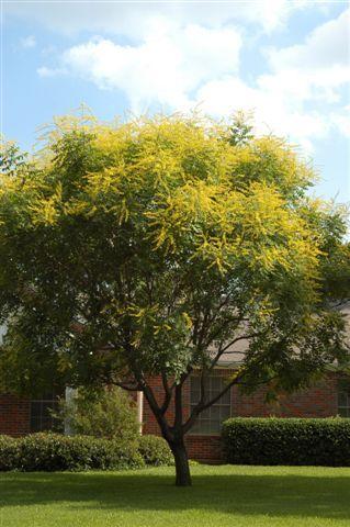 Koelreuteria paniculata (Blazenboom), tot 4m, geveerd blad, brede kroon, verkleurt geel in herfst