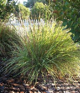 Fakahatchee grass dwarf florida nursery martdwarf for Natural grasses for landscaping