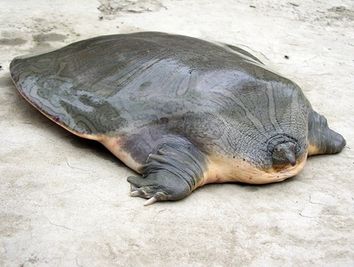 Indian narrow-headed softshell turtle     (Chitra indica)     also known as the Narrow-headed Softshell Turtle. is a softshell turtle of the family Trionychidae. it is found in major rivers in Pakistan and India. not alot of information is currently known about them. other that they are fairly large and probably act/eat similar to their African/Asian counterparts. according to the IUCN red list they are currently endangered. and are really derpy looking.