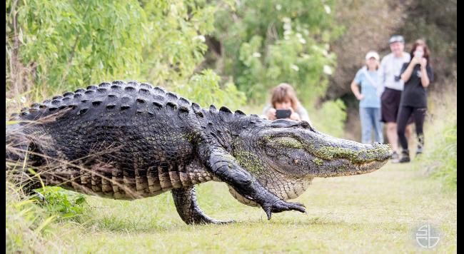 Massive Alligator Filmed at Florida Park Goes Viral | The Weather Channel