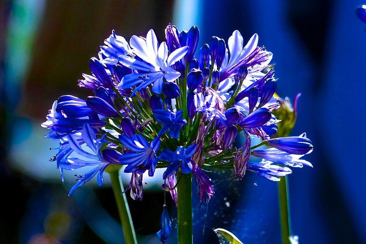 Deze agapanthus bloeit mooi blauw maar ook lekker lang