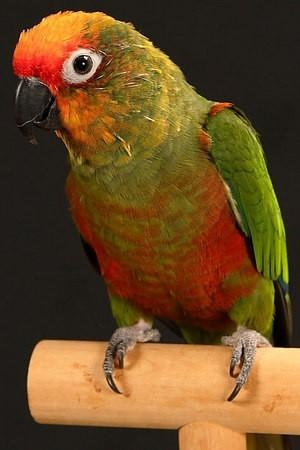 Gold-Capped Conure he use to sleep under the covers with me