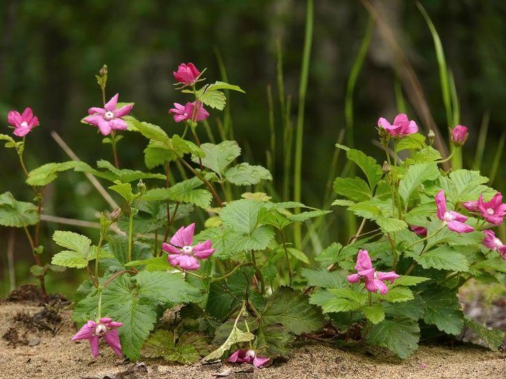 Åkerbär, Rubus arcticus - Blomväxter - NatureGate