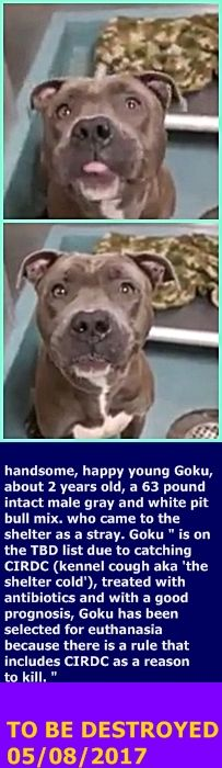SAFE 5-8-2017 by Heaven Can Wait Rescue NY ---  Brooklyn Center  My name is GOKU. My Animal ID # is A1110610. I am a male gray pit bull mix. The shelter thinks I am about 2 YEARS old.  I came in the shelter as a STRAY on 04/30/2017 from NY 11212, owner surrender reason stated was STRAY.  http://nycdogs.urgentpodr.org/goku-a1110610/