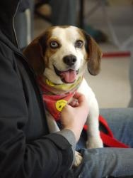 Joey is an adoptable Beagle Dog in Fairfax, VA. It's hard to believe that this wonderful little guy was out of time and about to be euthanized. Joey is a victim of these hard times. The shelters are f...