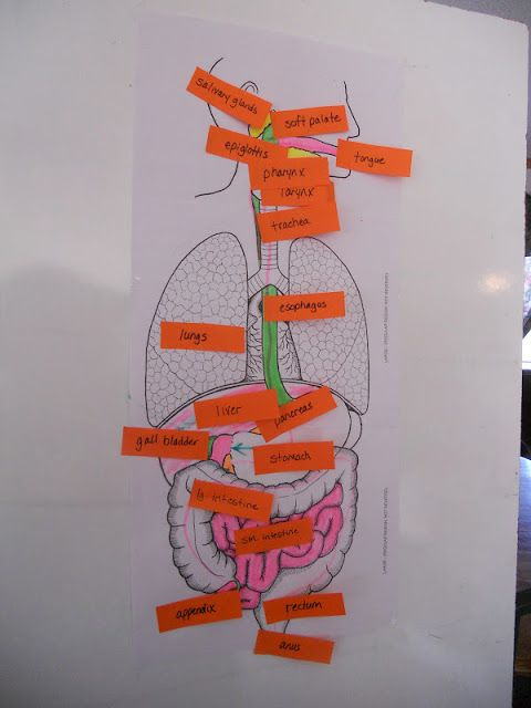 ♥ Sahm I Am! ♥: Apologia General Science, Module 13, The Human Digestive System