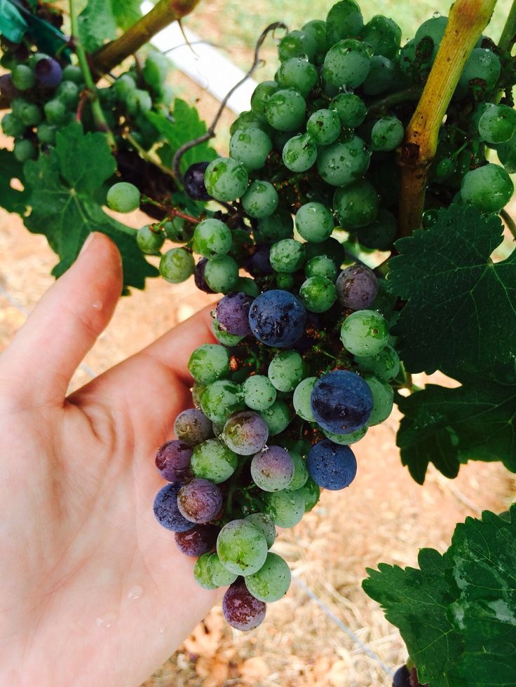 Veraison in merlot #overmountainvineyards #omvvip | Grape growing ...