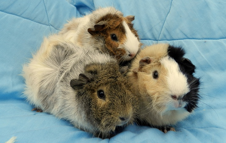 Did you know most shelters also have small animals for adoption? If you're looking for a guinea pig, hamster, or rat, ADOPT, don't buy!