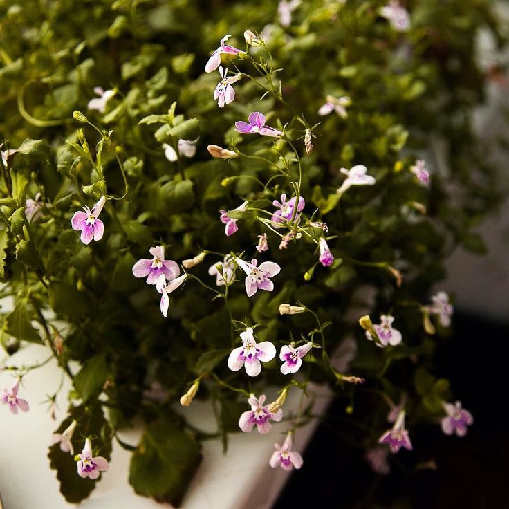 Неопознанные балконные цветы которые Туся почему-то не ест. Все остальные цветут с проплешинами потому как головы им откусывают еще в младенчестве #котсадовод by filijanka